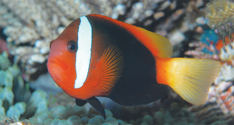 aqua 14(3)_Amphiprion barberi