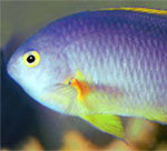 aqua 7(4)_damselfish n. sp.