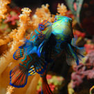 aqua 16(1)_Synchiropus splendidus