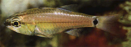 aqua 4(4)_Cardinalfishes 3 n. sp.