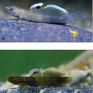 aqua 3(3)_New species of gobies