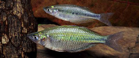 aqua 3(2)_Three n. sp. of Rainbowfishes