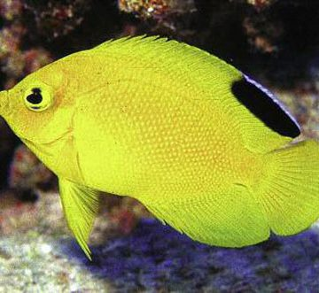 aqua 3(2)_A new Pygmy Angelfish
