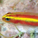 Eviota pamae, a new species of coral reef goby (Gobiidae) from I