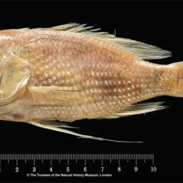 _Anthias-asperilinguis